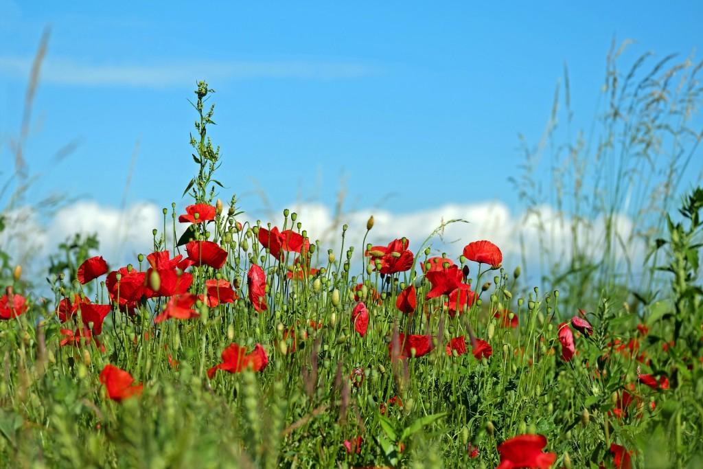 red-poppy-2432823_1920